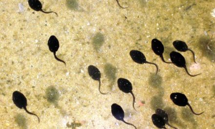 The Spawning Of The Tadpole Chart